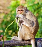 Monkey eating Royalty Free Stock Photography