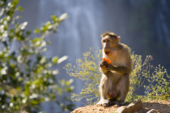 Monkey Eating Royalty Free Stock Images