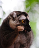 Monkey eating royalty free stock photography