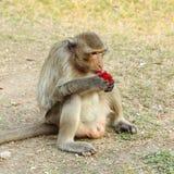 Monkey eating Royalty Free Stock Images