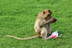 Monkey eating aerated soft drink Stock Photography