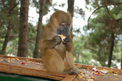 Monkey eating an Apple. In the forest Royalty Free Stock Photos