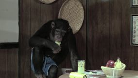 Monkey eating apple in kitchen stock video footage