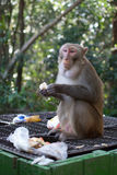 Monkey eating apple from rubbish bin Royalty Free Stock Images