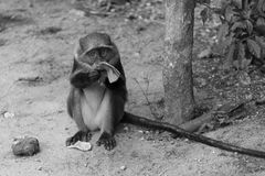 Monkey eating banana. A monkey eating a banana stock image