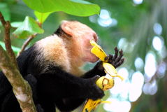 Monkey eating a banana. A monkey in the rainforest of Costa Rica eating a banana sitting in a tree stock photos