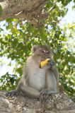 Monkey eating banana Stock Photography