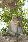 Monkey eating banana Stock Photos