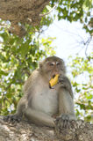 Monkey eating banana. On the tree stock images
