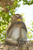 Monkey eating banana. On the tree stock photos