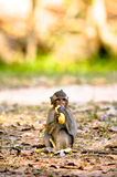 Monkey eating Banana. Monkey alone eating a banana in siem reap stock images