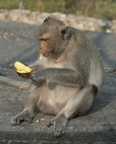 Monkey eating banana. Makaka monkey is eating banana stock image