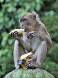 Monkey Eating Banana. Against blurred green background stock images