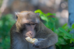 Monkey eating banana alone Royalty Free Stock Photo
