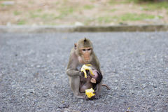 The monkey is eating banana and baby monkey is drinking milk Stock Photo