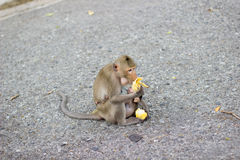 The monkey is eating banana and baby monkey is drinking milk Stock Photos