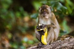 Monkey eating a banana. A monkey eating a banana at the Monkey Beach in Phi Phi Islands, Phuket, Thailand stock image