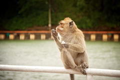 Monkey eating a banana Royalty Free Stock Image