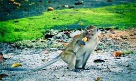 Monkey is eating a banana royalty free stock photo
