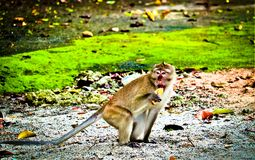 Monkey is eating a banana royalty free stock image