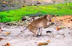 Monkey is eating a banana royalty free stock photography