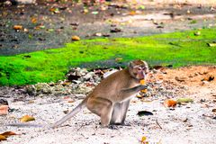 Monkey is eating a banana. In the forest royalty free stock images