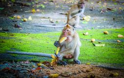 Monkey is eating a banana. In the forest royalty free stock photo