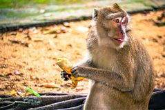 Monkey is eating a banana stock images