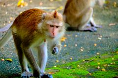 Monkey is eating a banana stock photo