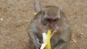 Monkey eating banana. On the ground stock footage