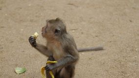 Monkey eating banana. On the ground stock video