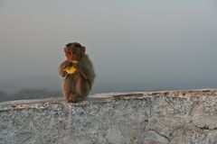 Monkey eating banana. At Hampi India royalty free stock photography