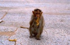 Monkey eating banana, Hampi, India. Monkey eating banana inside temple, Hampi, India stock photos