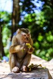 Monkey at sunny day at Monkey Hill Royalty Free Stock Image