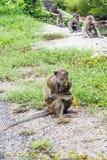 Monkey eating banana Royalty Free Stock Photography