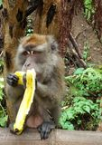 Monkey eating banana. This monkey just can& x27;t wait to eat his banana stock photos