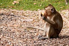 Monkey eating banana. Monkey eating banana and looking away Stock Photo