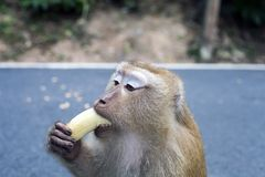 Macaque Monkey eating banana, portrait, Thailand. Monkey eating banana. Macaque portrait, macaca fascicularis, long-tailed or crab-eating macaque at Monkey Hill royalty free stock photos