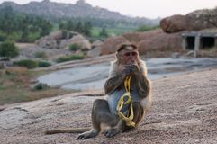 Monkey is eating a banana. Macaque sitting on a rock royalty free stock images