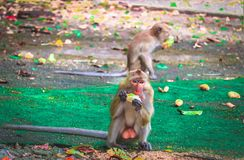 Monkey is eating a banana. In the forest stock photos