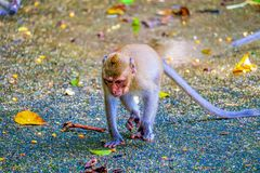 Monkey is eating a banana. In the forest stock photo