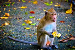 Monkey is eating a banana. In the forest stock images