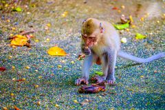 Monkey is eating a banana. In the forest stock image