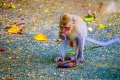 Monkey is eating a banana stock image