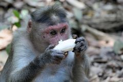 Monkey eating a banana. India, Goa royalty free stock photos
