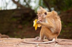 Monkey eating banana. Monkey is sitting and eating banana royalty free stock images