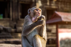 Monkey eating banana. Stock Images
