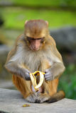 Monkey eating banana Royalty Free Stock Photos