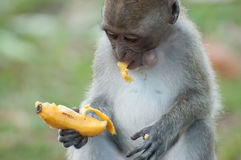 Monkey eating a banana. Peel a sheep stock photos