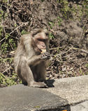 Monkey eating a banana Royalty Free Stock Images